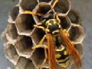 Play Jigsaw: wasp now